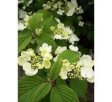 lemon scented sweetness Photographic Print
