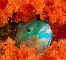 Parrotfish asleep, Wakatobi National Park, Indonesia by Erik Schlogl