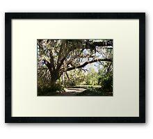 Live Oak Framed Print