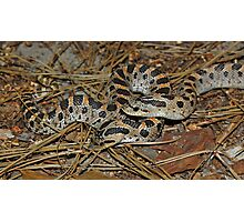 Two Southern Hog-nosed Snakes  Photographic Print