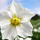 Potatoe Plant Flower by mikequigley