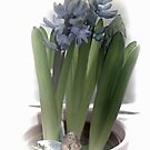 Blue Hyacinth ,,,,,,, by lynn carter