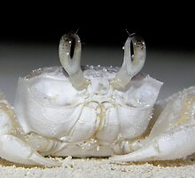Ghost Crab by main1