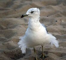 "--""Fluff-the seagull by Sassafras"