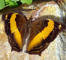 Cupha prosope Butterfly - Quindalup Fauna & Butterfly Park W.A. by Coralie Plozza