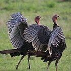 Twin Turkeys by Mountaineer