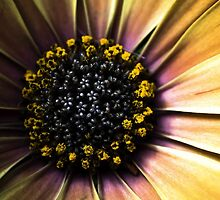 macro sunflower by azaprographics