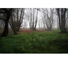 Daffodils in the chestnut grove Photographic Print