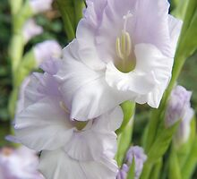 gladioli flower by jon  daly