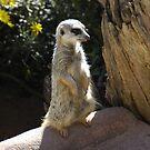 meerkat by Steven Maynard