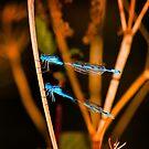Damsel flies by Trevor Patterson