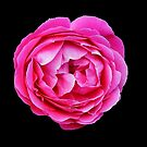 Pink Rose by Evelyn Laeschke