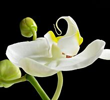 Flamenco Orchid by Mary Ann  Lewis