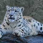 Snow Leopard Dreams by Krys Bailey