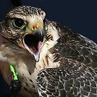 Peregrine Falcon by kajo