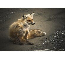 Itchy Fox Photographic Print