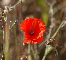 Poppies 3 by JohnT