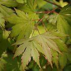Acer palmatum by lezvee
