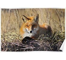 Relaxed Fox Poster