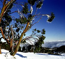 Frozen Snowgums, Mt Baw Baw. by Bev Pascoe