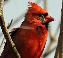 Windblown Northern Cardinal by Debbie Oppermann