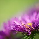 Dewy Purple Asters by Lois  Bryan