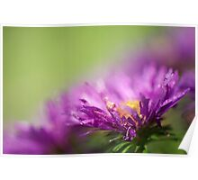 Dewy Purple Asters Poster