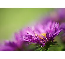 Dewy Purple Asters Photographic Print