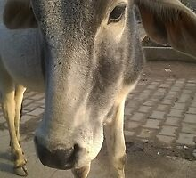 Beautiful Stud Bull or Cow. by BhakteesYogis