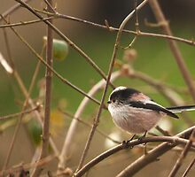 Long tailed tit  by yampy