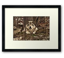 Hiding in plain sight - Timber Wolf Framed Print