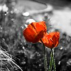 Poppy by Samantha Coe