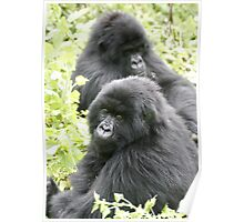 Mountain Gorillas II Poster