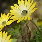 Cape Daisies 2 by shalisa