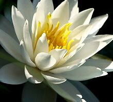 Waterlily by Christina Rollo
