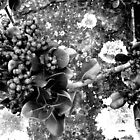 Berries Black & White by Michelle Larrea