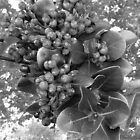 Blue Berries in Black & White by Michelle Larrea