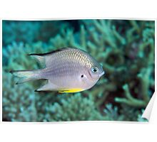 Ribbon Reefs - White-belly Damsel Poster