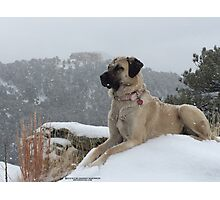 Anatolian Shepherd Dog on Guard Photographic Print