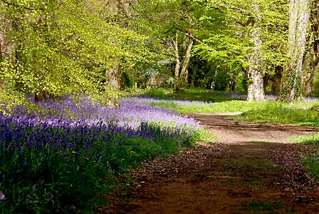 A Walk in Bluebell Wood- Thorpe Perrow (Spring)