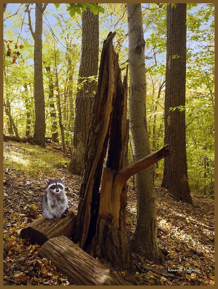 Racoon in Woods by Kenneth Hoffman