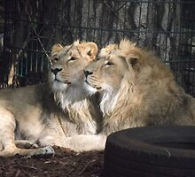 Lions by AmyAnn