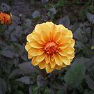 Orange flower 2 by Alice Oates