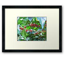 El Salvador #4 - Ripe coffee fruit beans Framed Print