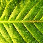 Green Leaf by Evan Ludes