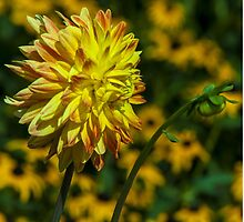 Bright Orange and Yellow Dahlia by BLaskowsky