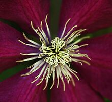 Deep Claret Red Clematis by Debbie Oppermann