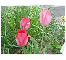 3 pink tulips ~FRANNY'S Garden Poster