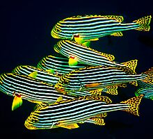ORIENTAL SWEETLIPS - MALDIVES by Michael Sheridan