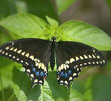 Black Swallowtail by Lisa G. Putman